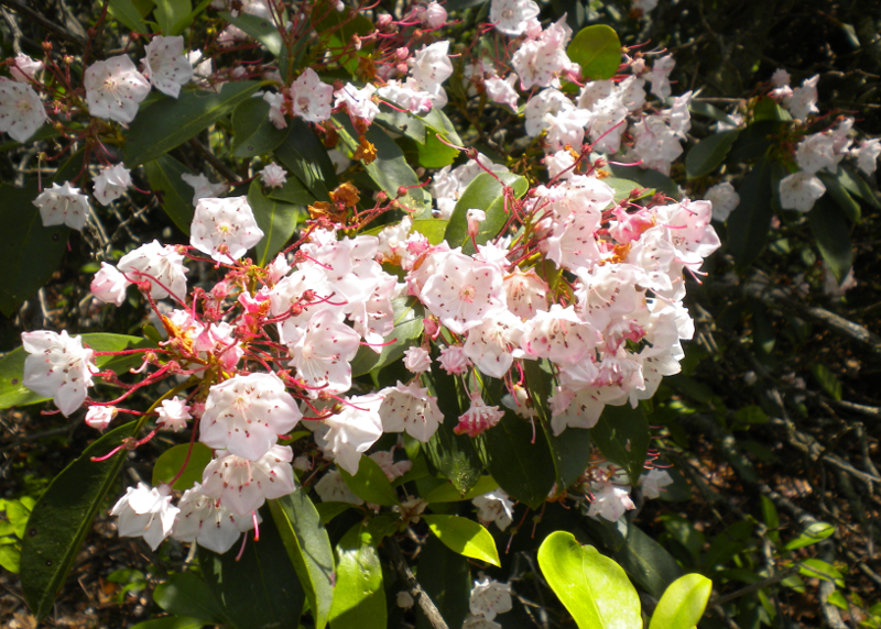 Mountain Laurel - Zoom Out