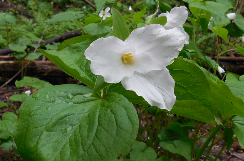 Large-flowered Trillium (closer) - 4 May 2013