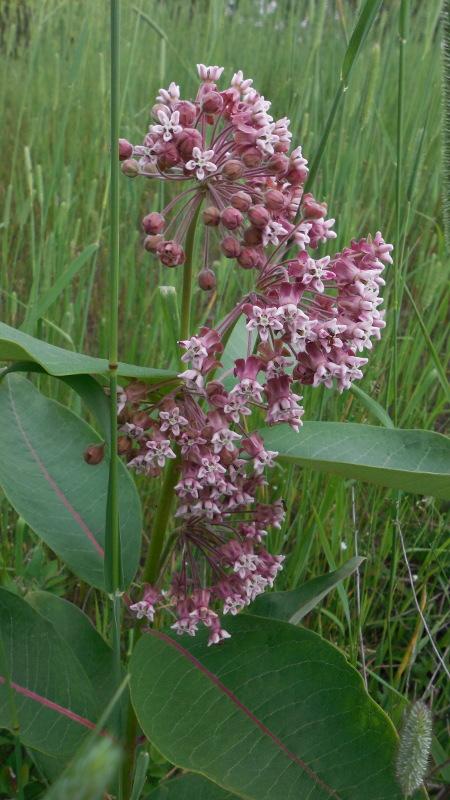 Swamp Milkweed (budding) - 24 June 2013