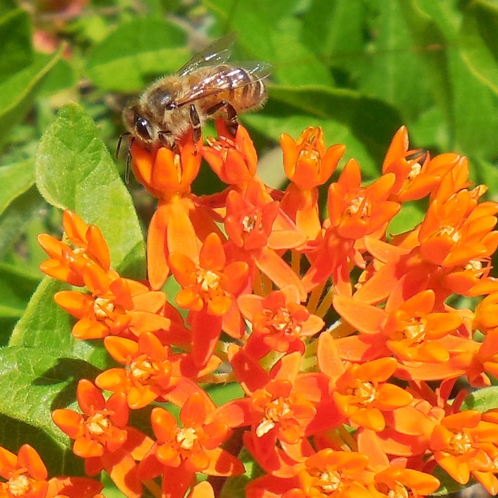 Butterfly Weed & honey bee - 18 June 2016