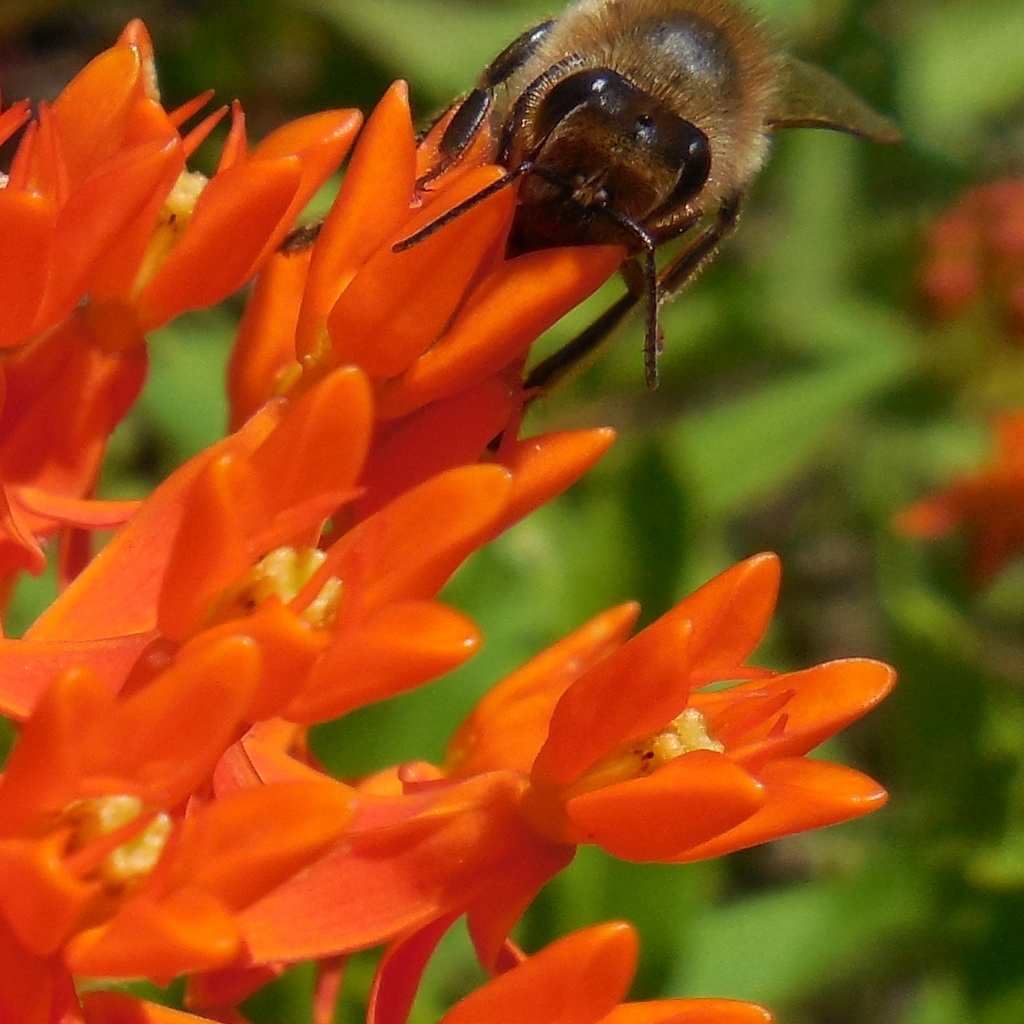 Butterfly Weed with bee - 18 June 2016