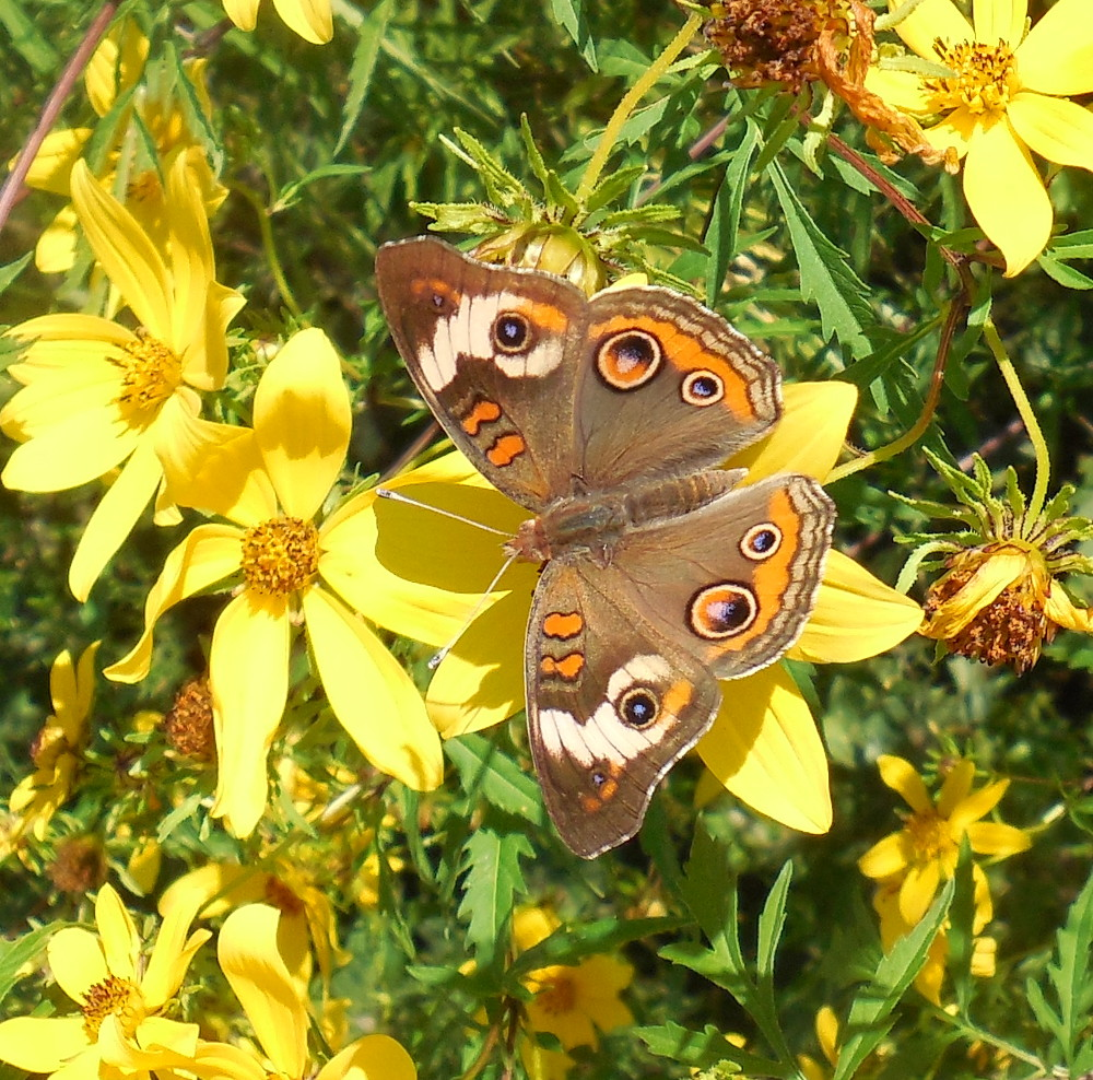 Common Buckeye Butterfly - 6 September 2013