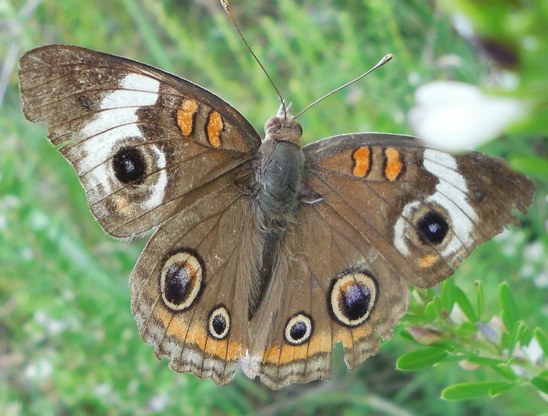 Common Buckeye Butterfly (detail) - 28 August 2013