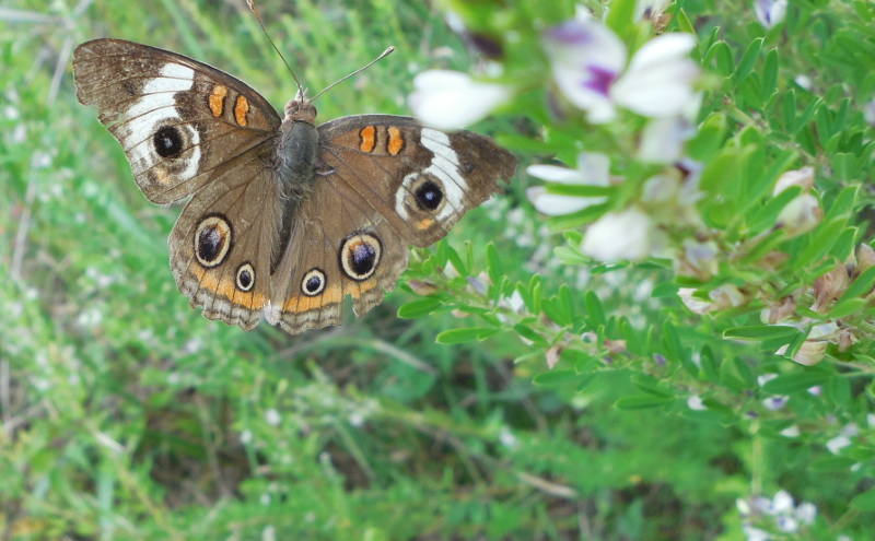 Common Buckeye Butterfly on Sericea Lespedeza in Fletcher, NC - 28 August 2013