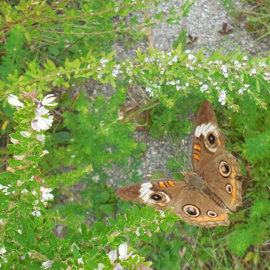Common Buckeye Butterfly (zoom out) - 28 August 2013