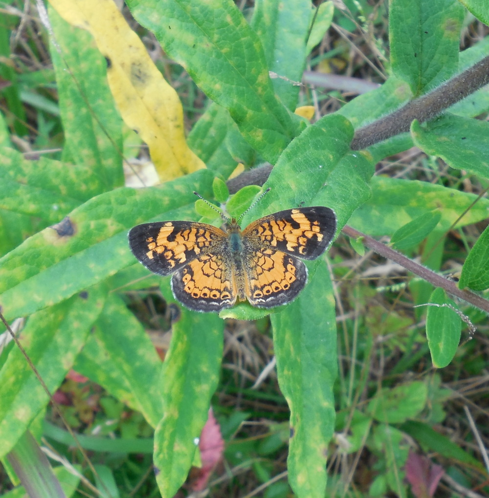 Pearl Crescent Butterfly (zoom out) - 28 August 2013