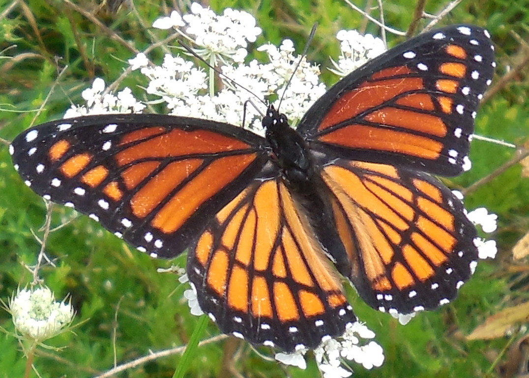 Viceroy Butterfly (detail) - 28 August 2013
