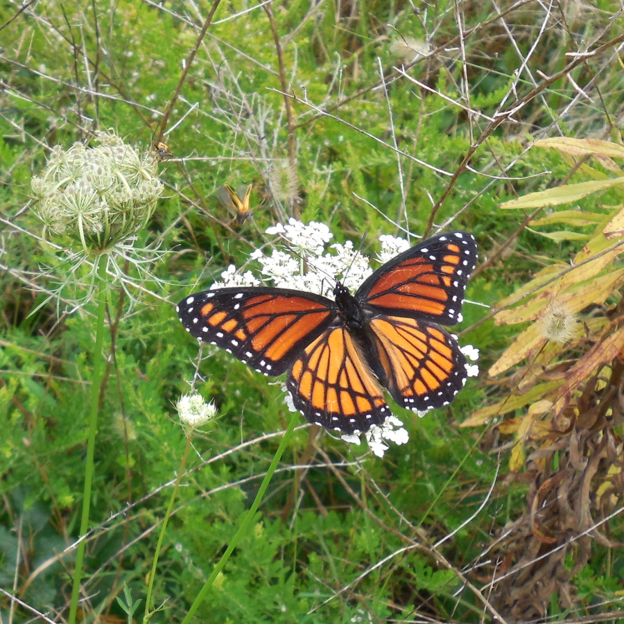 Viceroy Butterfly on Queen Anne's Lace in Fletcher, NC - 28 August 2013