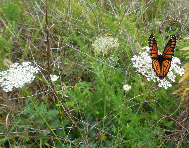 Viceroy on Queen Anne's Lace (wide) - 28 August 2013