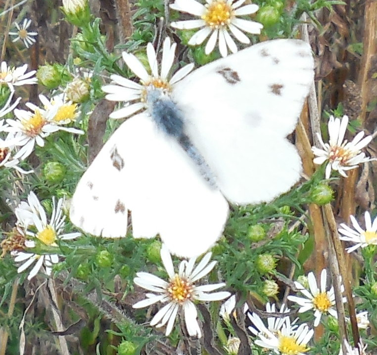 Checkered White Butterfly (male) - 28 September 2013