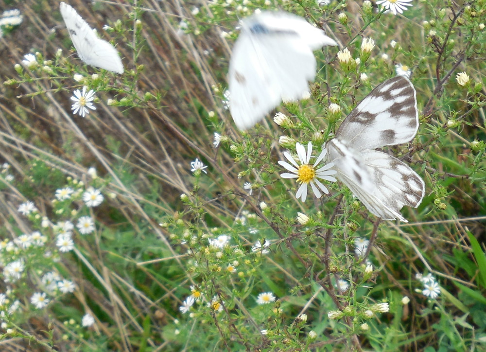 Checkered White Butterfly (three) - 28 September 2013