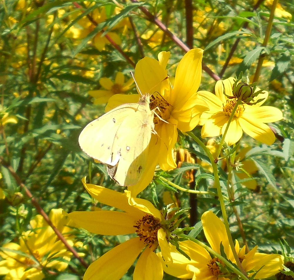 Clouded Sulphur Butterfly at Fletcher Park - 6 September 2013