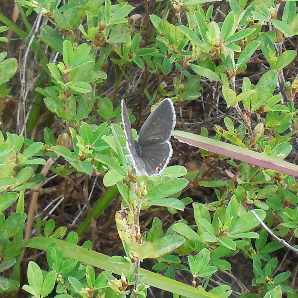 Gray Hairstreak Butterfly - 4 September 2013