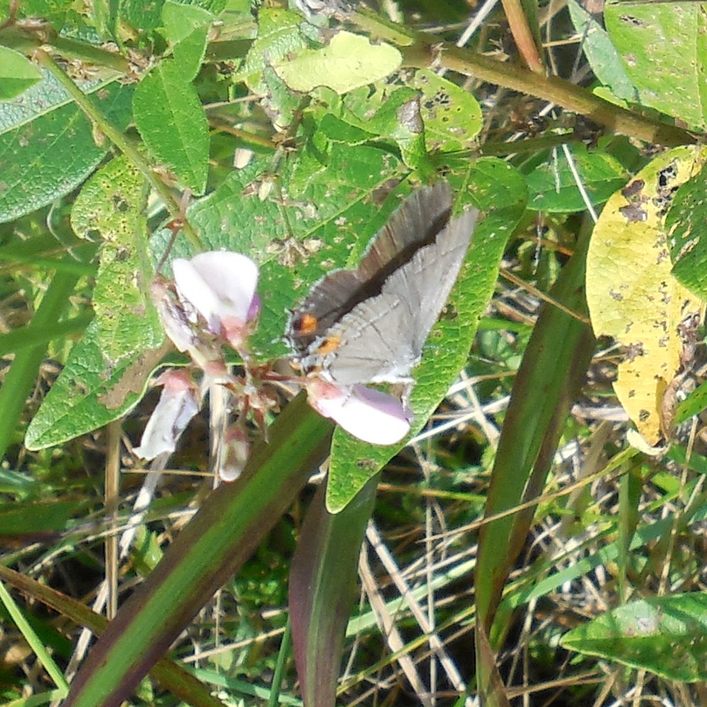 Gray Hairstreak (side) - 4 September 2013