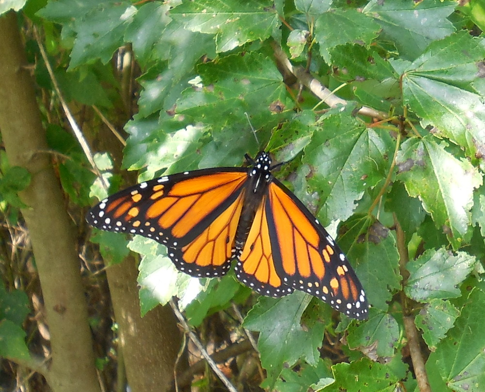 Monarch Butterfly in Fletcher - 19 September 2013