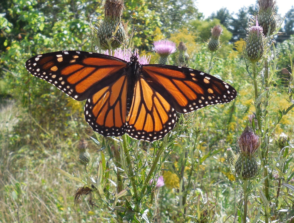 Monarch Butterfly in Fletcher - 24 September 2013