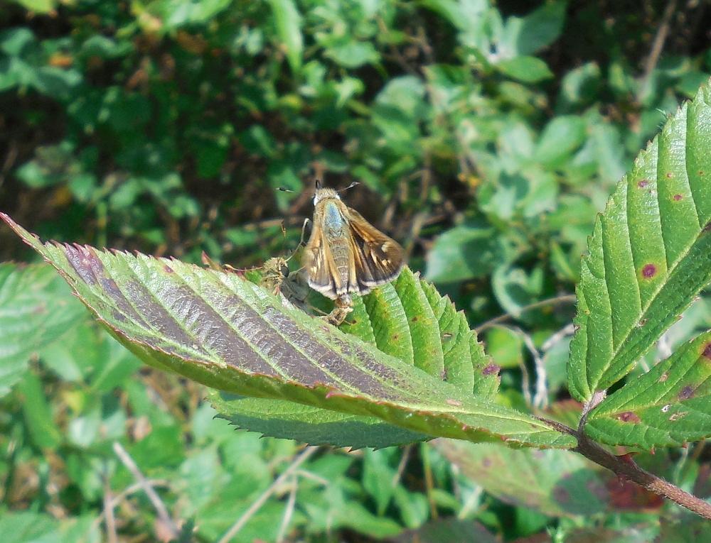 Tawny-Edged Skipper Butterflies Mating - 19 September 2013