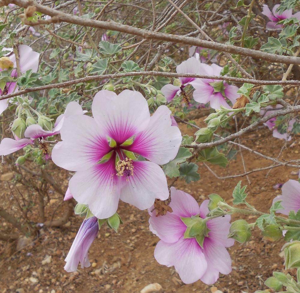 Hibiscus near Terranea, Rancho Palos Verdes, CA - 30 January 2014