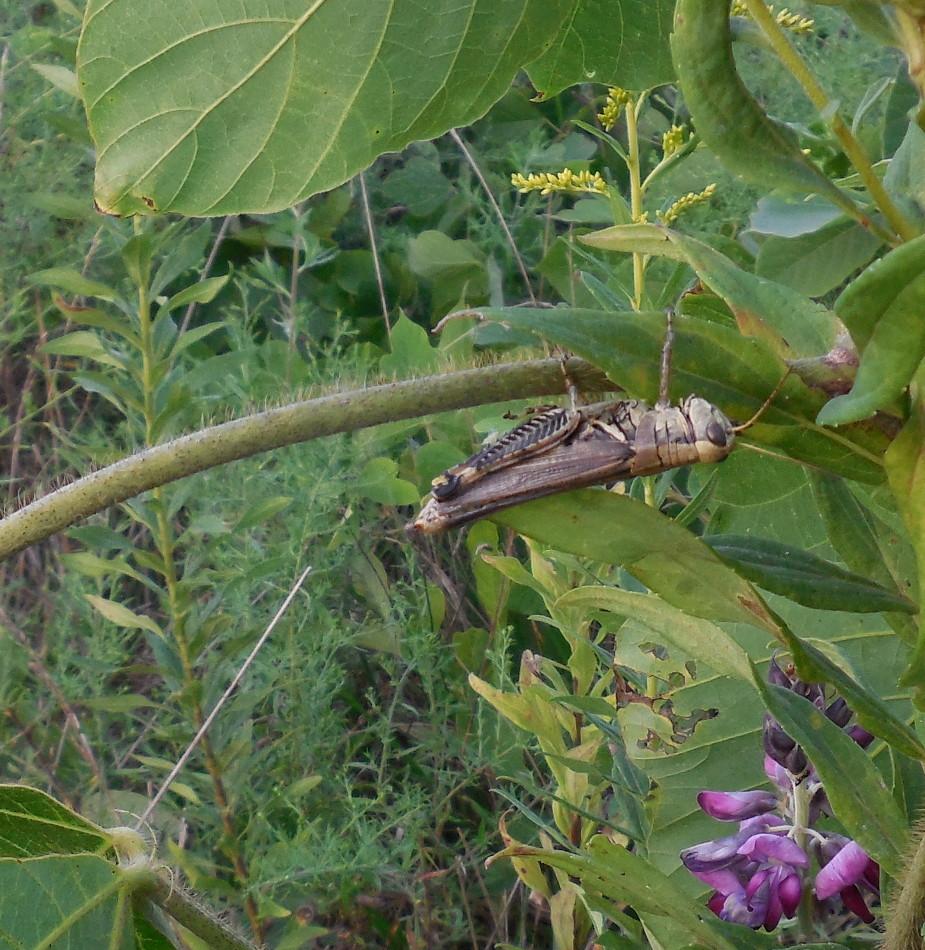 Grasshopper on leaf at Fletcher Park- 29 August 2014
