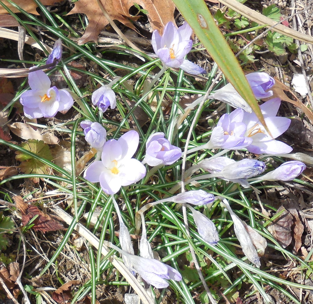 Crocus (multiple) - 16 March 2015