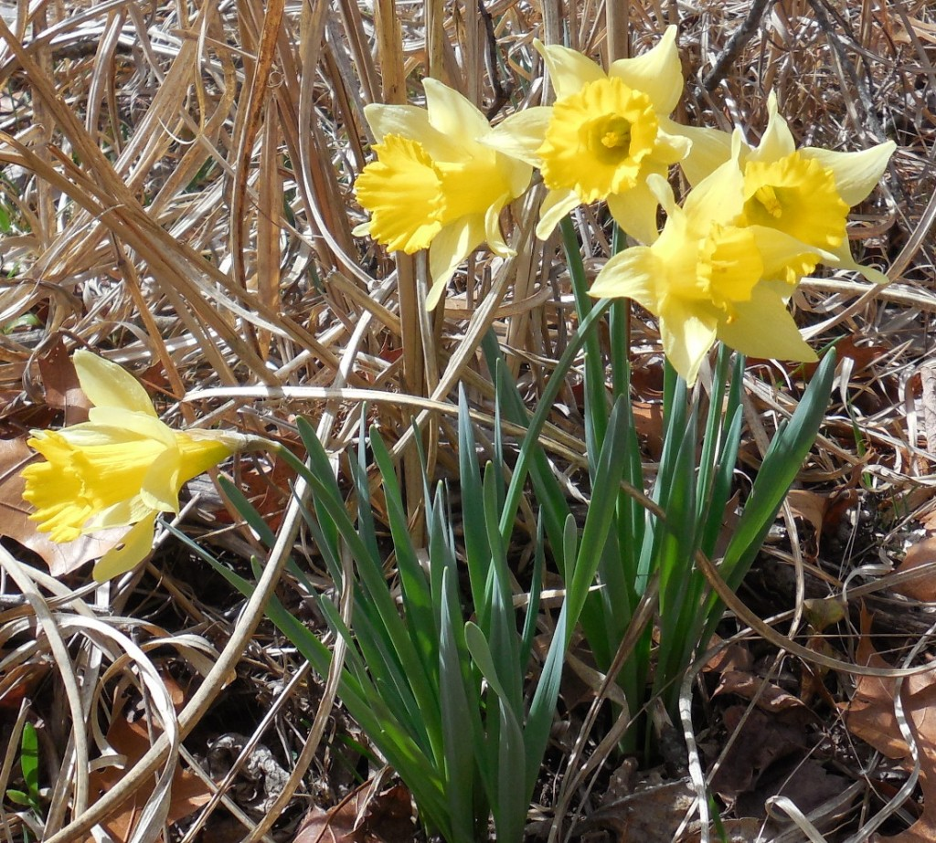 Five daffodils - 16 March 2015