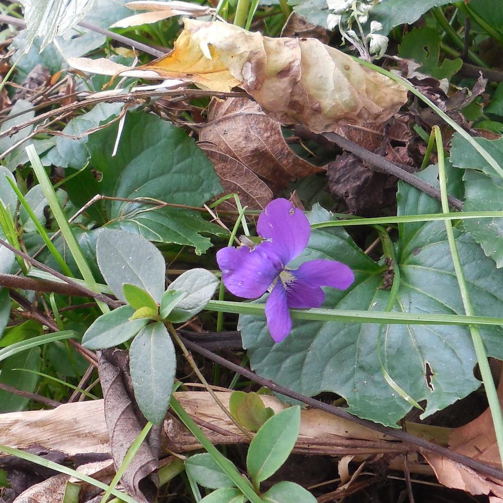Fletcher Park Violet - 15 Nov 2015