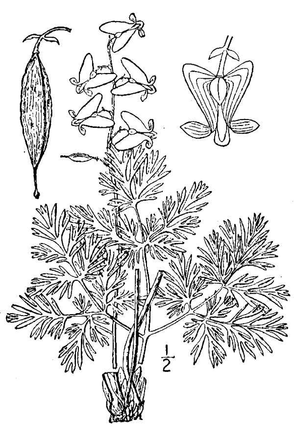 Dutchman's Breeches - from plantsgov