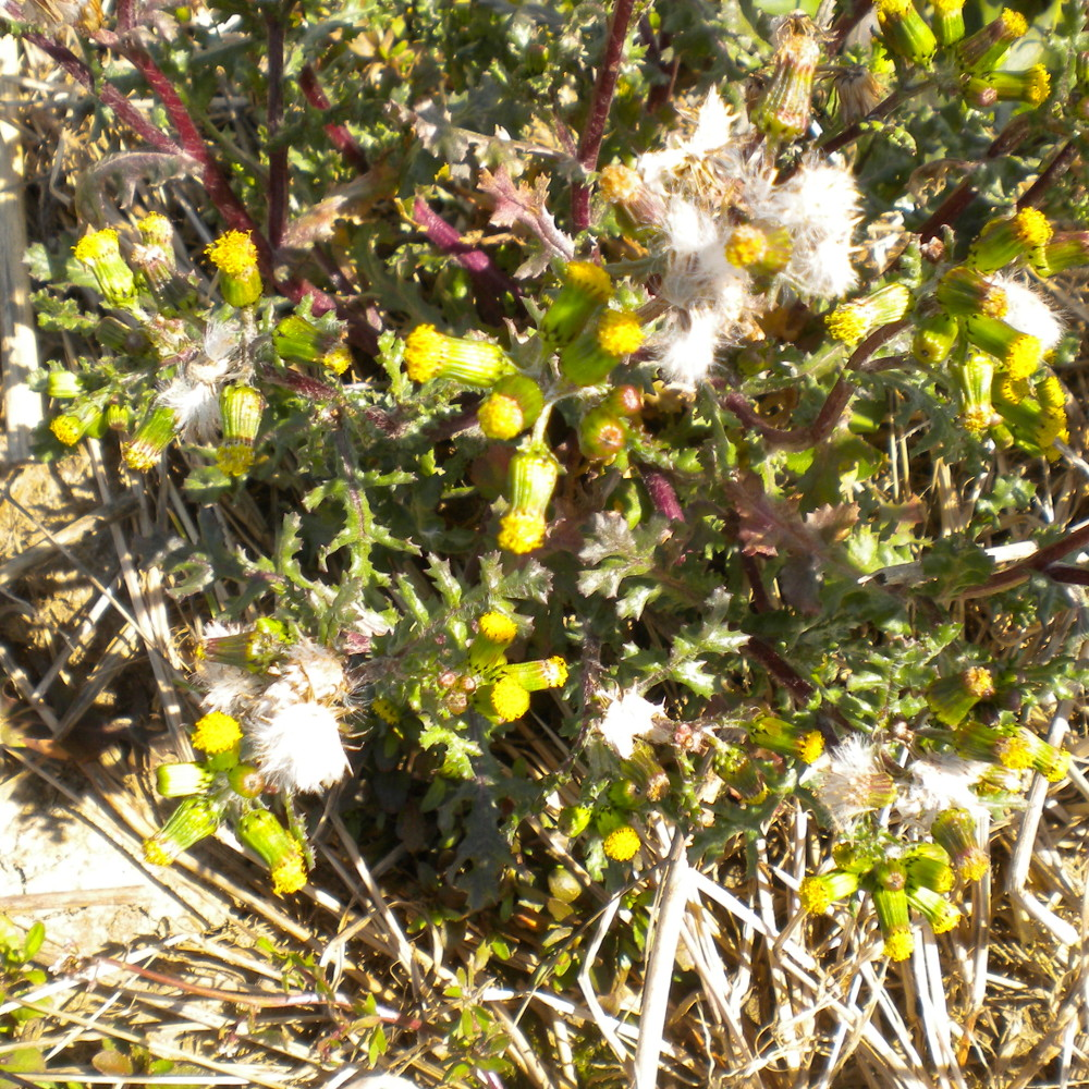 Common Groundsel - 16 March 2013