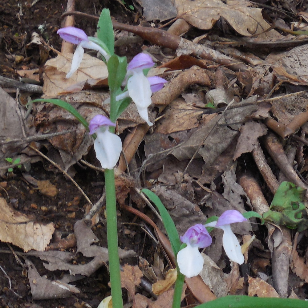 Showy Orchis (in) - 14 May 2016