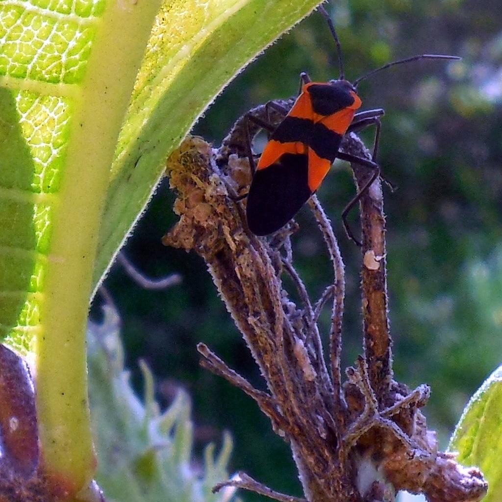 Large Milkweed Bug - 27 August 2016