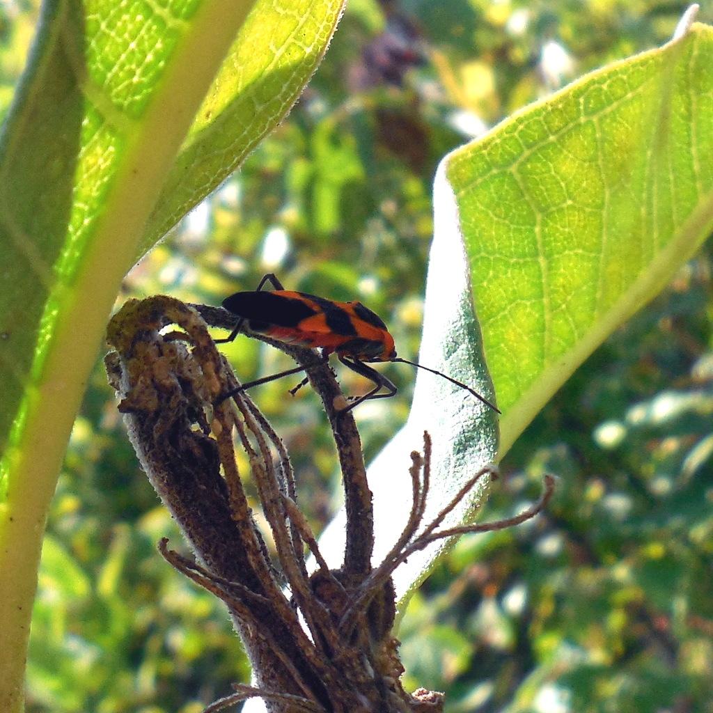 Large Milkweed Bug (closer) - 27 August 2016
