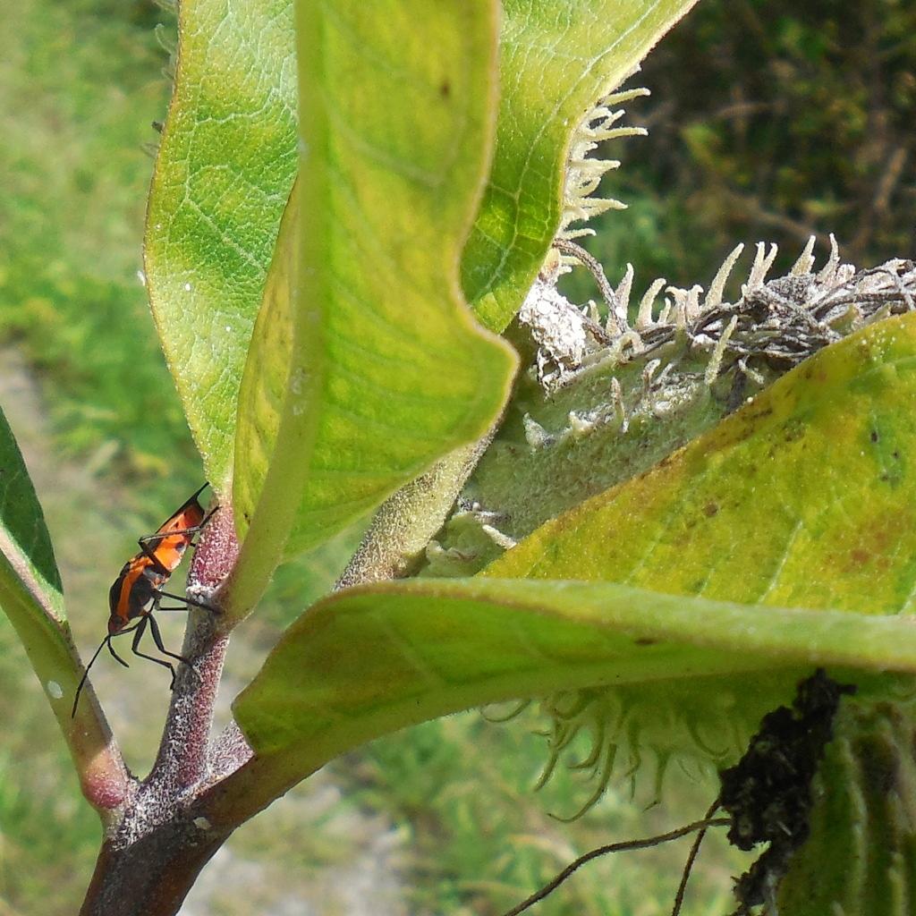 Large Milkweed Bug on Milkweed - 27 August 2016