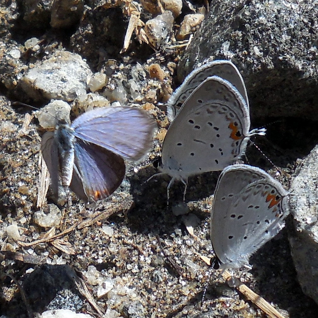 Eastern Tailed-Blue Butterflies at Russian Chapel Hills Winery on 3 September 2016