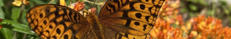 Meadow Fritillary on Butterfly-Weed - 24 June 2021